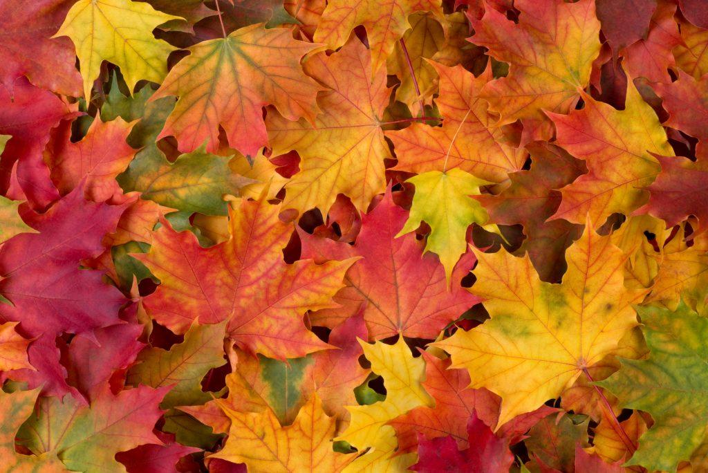 Een mooie selectie van verschillende herfstbladeren. Het prachtige esdoornblad, bekend van de Canadese vlag, valt op. Super gevarieerde kleuren: geel, groen, rood en bruin.