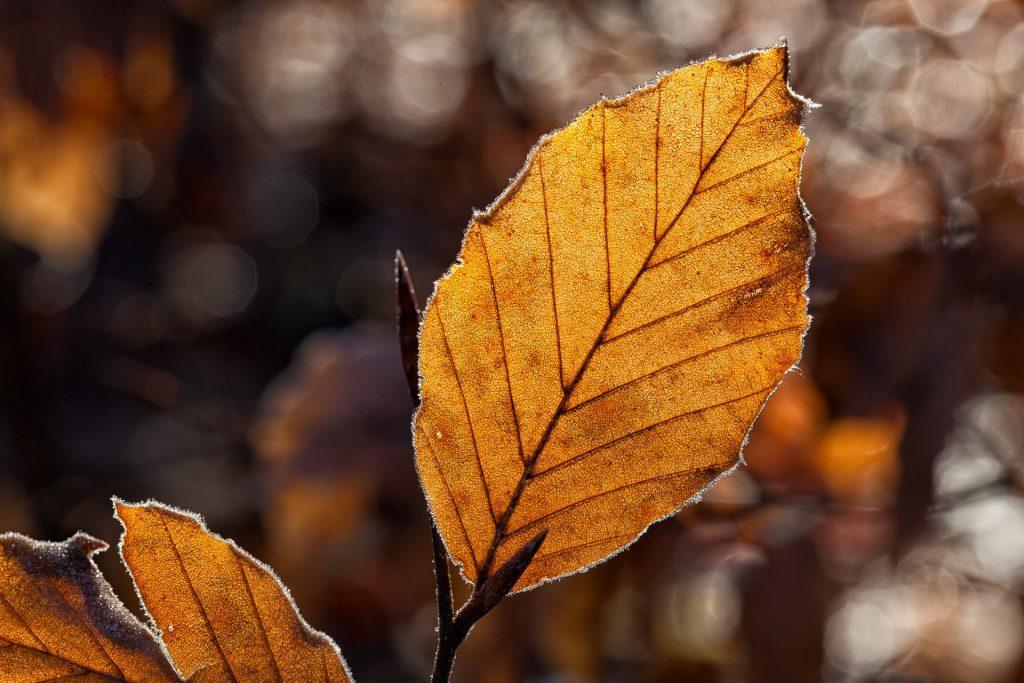 Een erg lichtbruin herfstblad zorgt voor een mooie afbeelding, gemaakt door een fotograaf die weet wat hij doet. Het blad is mooi scherp gesteld.