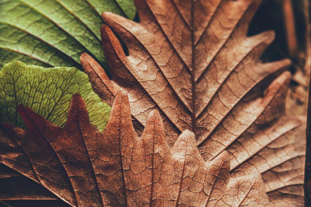 Bruin- en groengekleurde wintereikbladeren. Gekenmerkt door het enorme maat van de bladeren en de randvormen. Door de herfstige omstandigheden kleuren de bladeren mooi bruin en groen.