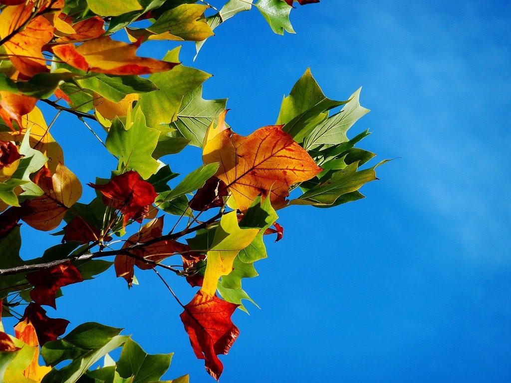 Een bijzondere tak met bladeren van veel verschillende kleuren. De tak hangt voor een prachtig blauwe lucht.