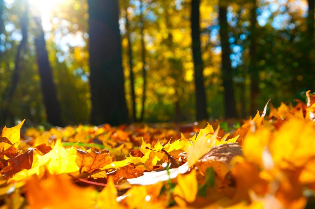 Een uitstekende foto van de mooi gekleurde herfstbladen gelegen op de grond. De oranje-gele bladeren zijn van de bomen gevallen door de herfstige omstandigheden. De zon komt mooi door de bomen geschenen.