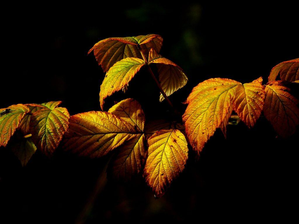 Mooie gele, krommende bladeren. Op de achtergrond en voorrond mooi zwart beeld, waardoor de bladeren extra opvallen.