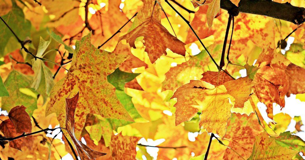 De puntige gele en oranje herfstbladeren hangen nog aan de boom, maar staan op het punt er vanaf te vallen. Een mooie herfstachtergrond.