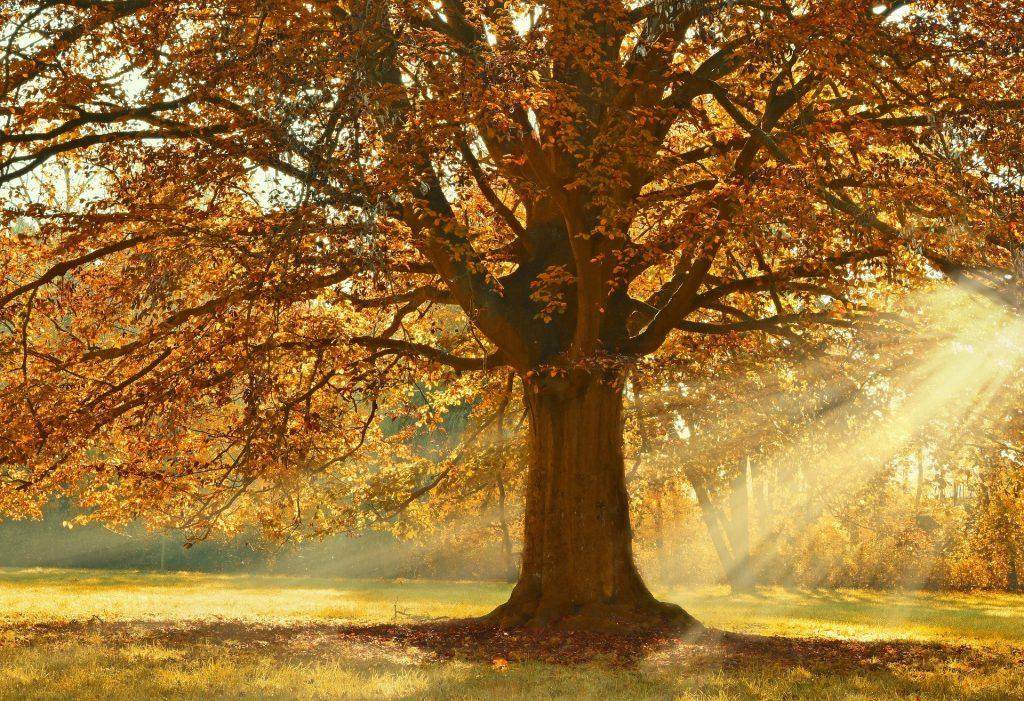 Een mooie grote eikenboom met daaraan gele herfstbladeren. Het zonlicht komt mooi van rechts geschenen.