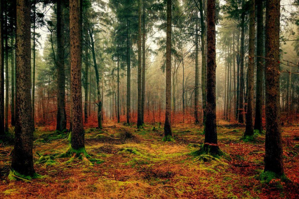 Een mooi uitgestrekt herfstlandschap, met daarvoor wel veel dunne bomen. Op de grond ligt mos met oranje en groen. Het zijn naaldbomen, waardoor ze hun naalden in de herfst behouden.