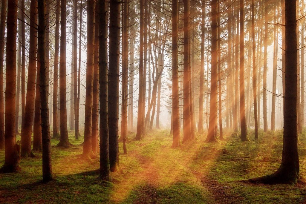 Het zonlicht schijnt prachtig tussen de bomen door. Tussen de dunne, hoge boompjes ligt mooi groen mos op de grond.