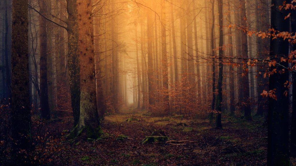 Nog zo'n bijzonder bijna horrorachtig beeld. De mist hangt tussen de bomen en geven een bijzondere gele gloed door het zonlicht wat erop schijnt. Veel bladeren zijn al gevallen, maar er hangen ook nog veel herfstbladeren aan de bomen.