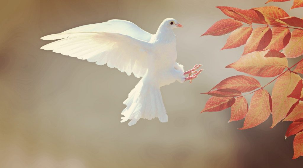 Een witte duif die zijn landing maakt op een herfsttak met oranje-bruine bladeren. In Japan staat de Witte Duif voor een lang leven, in Egypte voor onschuld en in het christendom staat de witte duif vooral symbool voor de Heilige Geest.