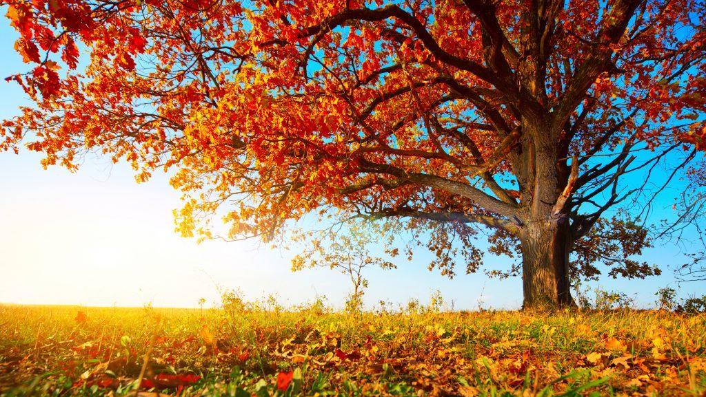 Een voortreffelijke, reusachtige eikenboom in een wijd uitstrekkend weidelandschap. Geweldige herfstkleuren, variërend van rood, naar oranje, tot geel. De zon zorgt voor een prachtig licht over het landschap.