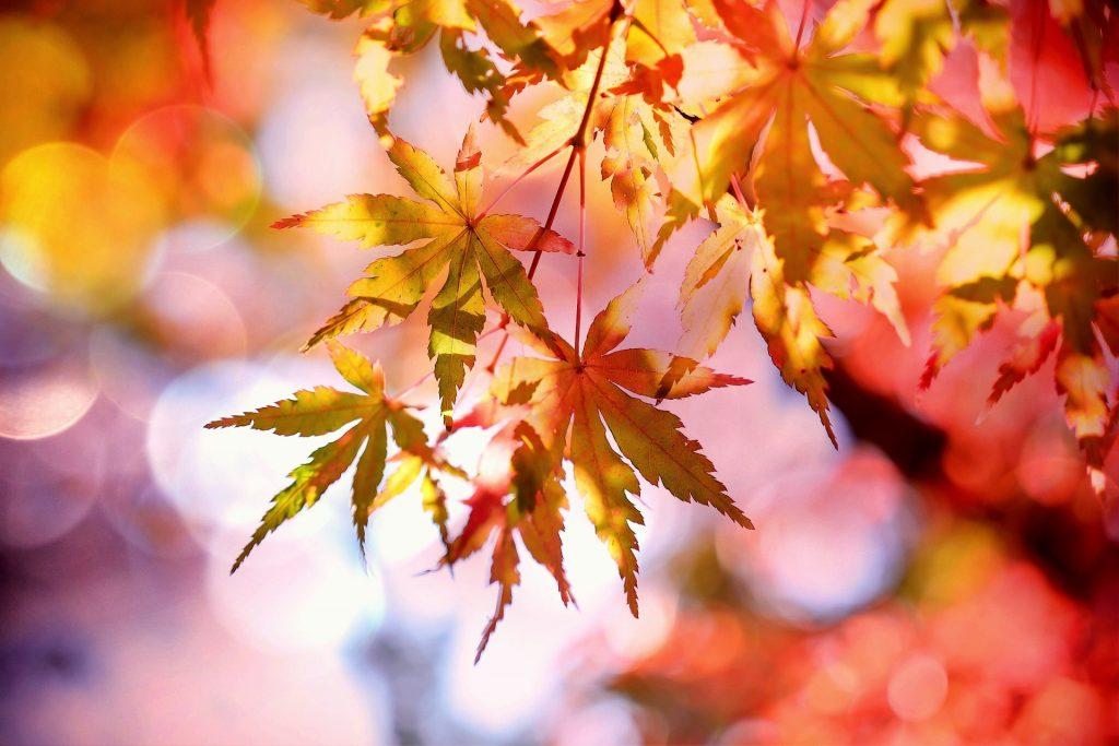 Bijzondere, bijna stervormige bladeren hangen in hun bruine herfstkleuren aan de boom, terwijl op de achtergrond erg veel rode boombladeren te zien zijn.