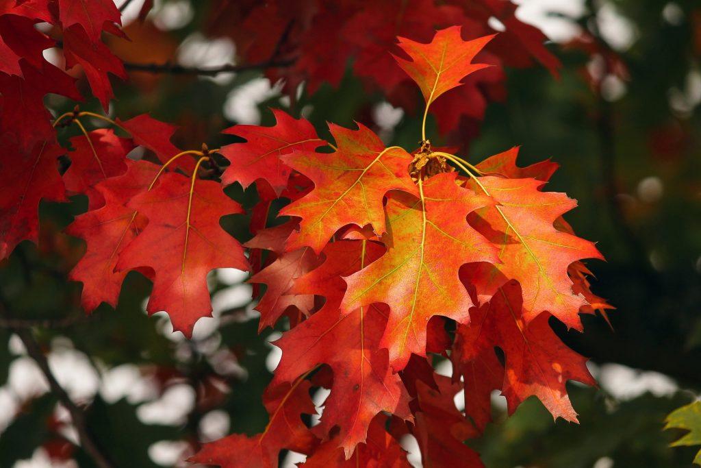 Prachtige rode bladeren, met daar achter nog groene bladeren te zien. Het zorgt voor een mooi herfstbeeld.