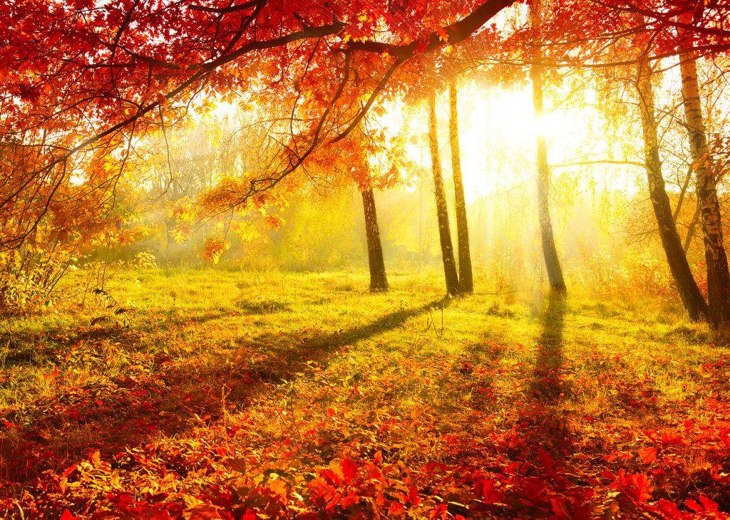 De zon komt op in een prachtige, afgelegen boslocatie. Geweldige herfstachtig uitzicht, terwijl de dauw nog op het gras ligt en de zon op komt. Prachtige herfstrode bladeren.
