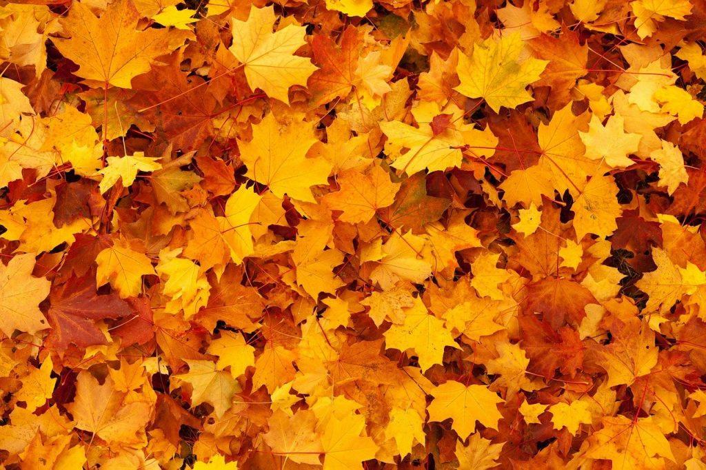 Een stapel van bijzondere wat lichter oranje esdoornbladeren. Je kunt je het krakende gevoel wanneer je hier doorheen wandelt vast wel voorstellen.