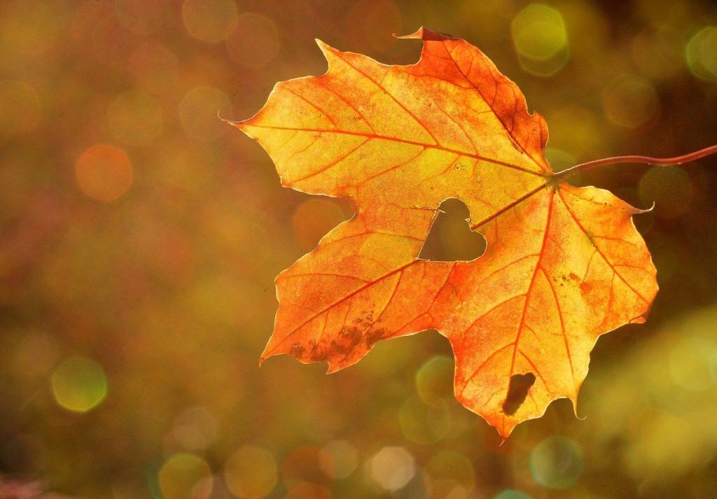 Een mooi oranje esdoorn-herfstblad waar een hartje uit gekerfd is. Een mooie foto met een bokeh-wazige achtergrond. Het zonlicht is goed te zien op de achtergrond.