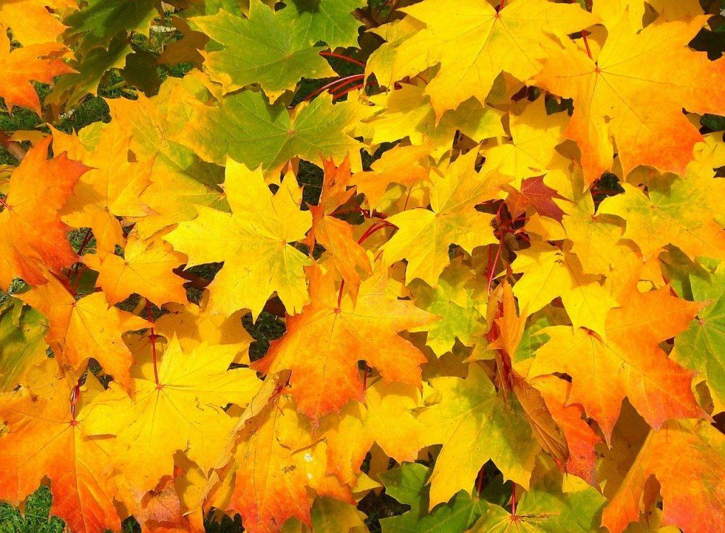 Nog een stapel esdoornbladeren, ditmaal erg variërend in kleur. Geel, oranje en groen.