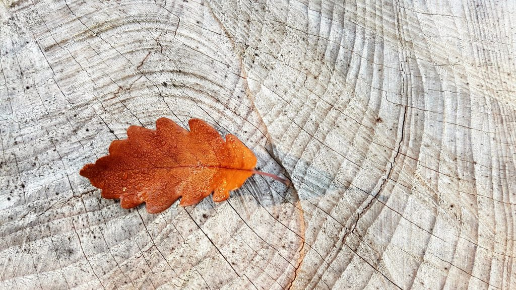 Een typisch bruin herfstblad met het dauw er nog op ligt op een doorgesneden boom. Je kunt zien dat de boom al jaren oud is, dit is te zien aan de ringen in de stronk.