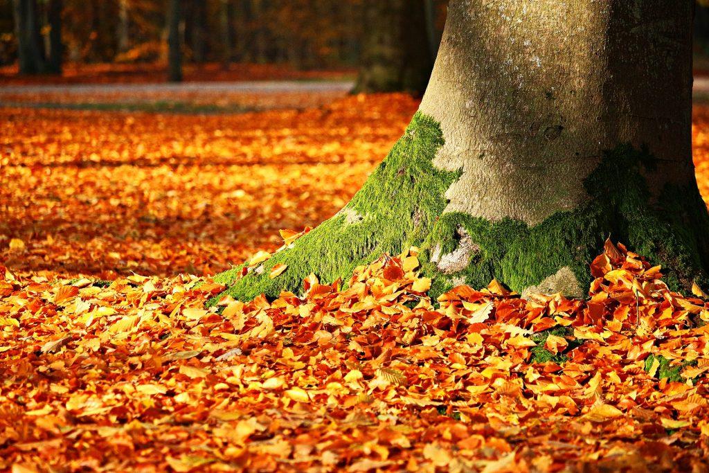 Een grote, dikke boomstam komt uit de grond, terwijl er flink wat mos op groeit. De grond ligt vol met bruine blaadjes. De boom staat in een groot, uitgestrekt bos.