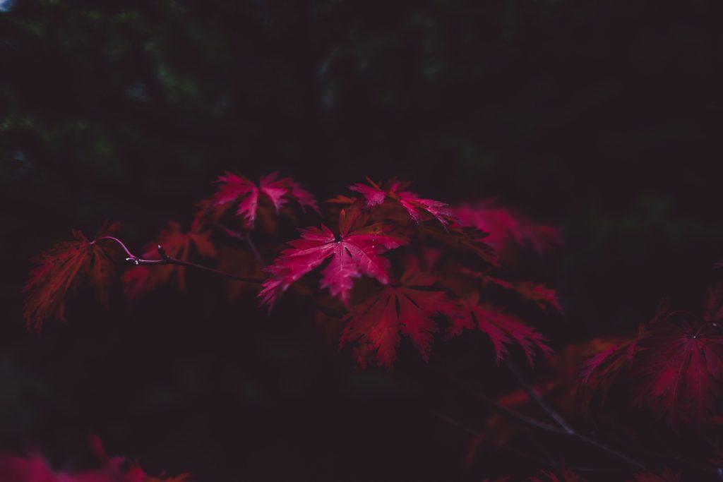 Bijzondere paarsrode bladeren die mooi bewerkt zijn met daar omheen een donker beeld. Het zorgt voor een perfecte rustgevende herfstachtergrond.
