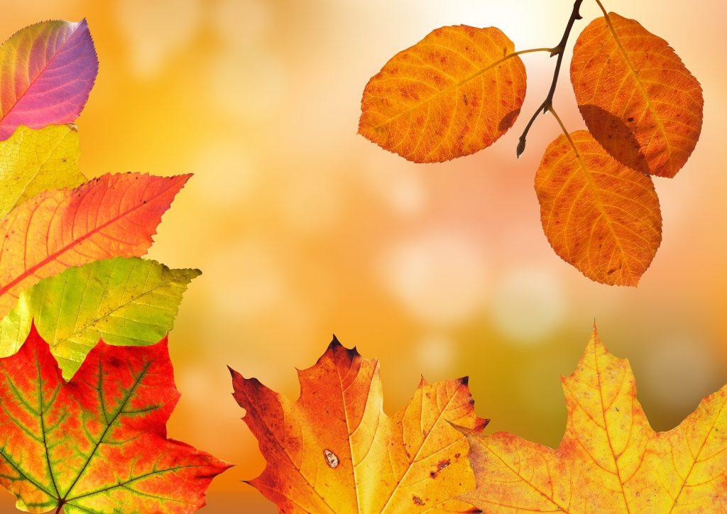 Voor de wazige bosachtergrond zijn tevens de welbekende esdoornbladeren te zien. De bladeren beginnen al langzaam in hun herfstkleuren te komen.