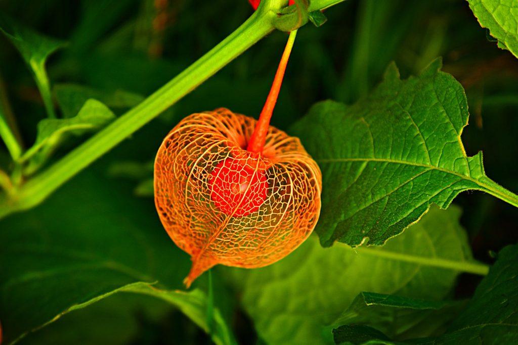 Een zeldzame bloem, waar je doorheen kunt kijken. Het oranje object hangt voor bijzondere groene bladeren.
