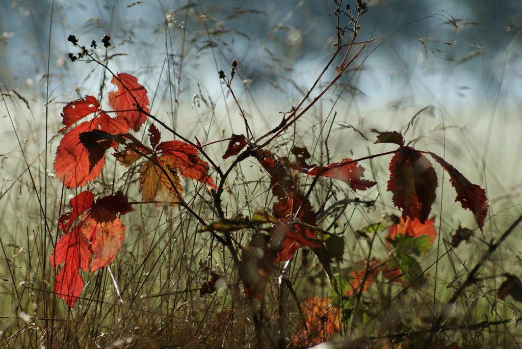 Een wat zwakker gehangen plant, maar het zorgt wel voor een mooi beeld. De roodgekleurde plant hangt ietwat naar beneden tussen de rietachtige planten.