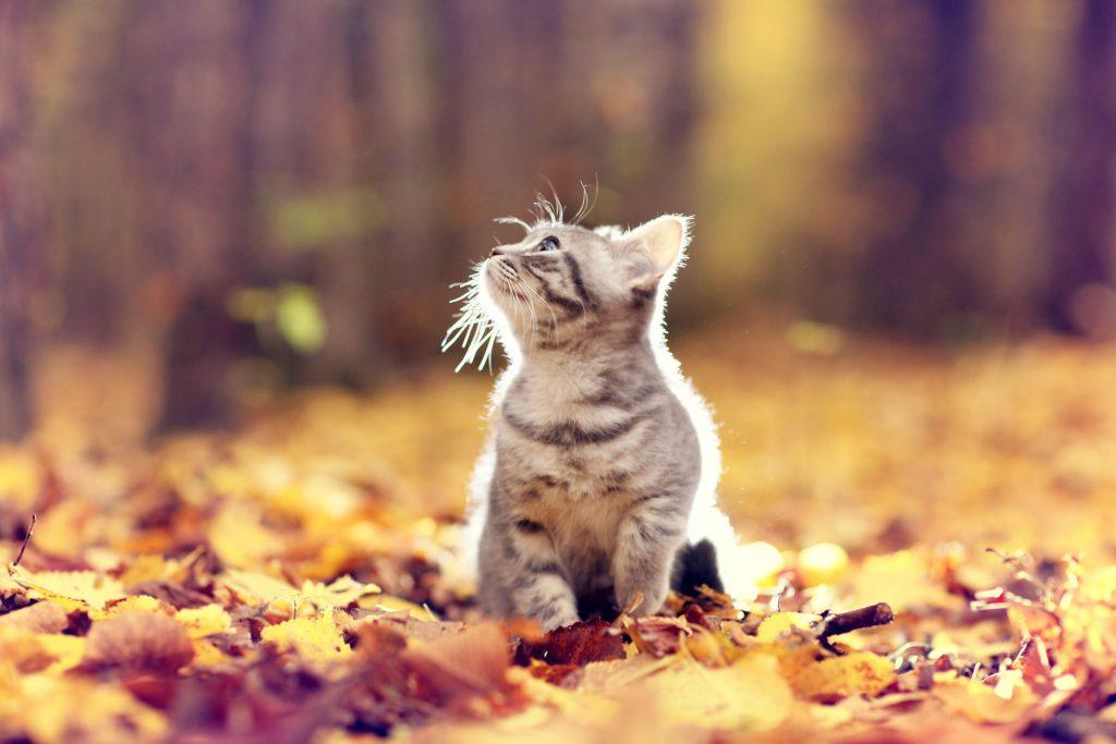 Een super schattig grijs poesje met prachtig blauwe ogen. Het katje zit in de herfstbladeren die op de grond liggen in het bos. Er hangt een bijzondere paarse gloed in de lucht. Het kittentje geniet van het mooie weer.