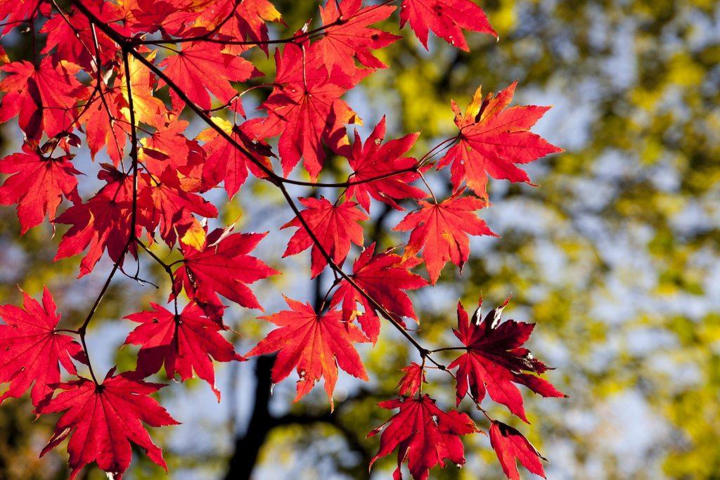 Mooie rode bladeren met op de achtergrond nog groene bomen te zien. Het is nog aan het begin van de herfst, dat is te zien aan de groene bomen op de achtergrond.