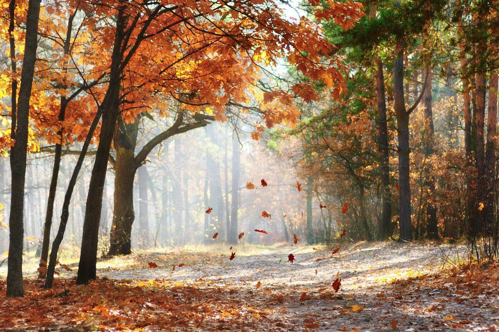 Mooi mistig uitzicht door een herfstachtig bospad. Herfstbladeren vallen naar beneden van de bomen. Het zonlicht is mooi te zien door de stoffige lucht. Mooie kleuren in de bladeren en de bijzondere boomstammen zorgen voor een uniek beeld.