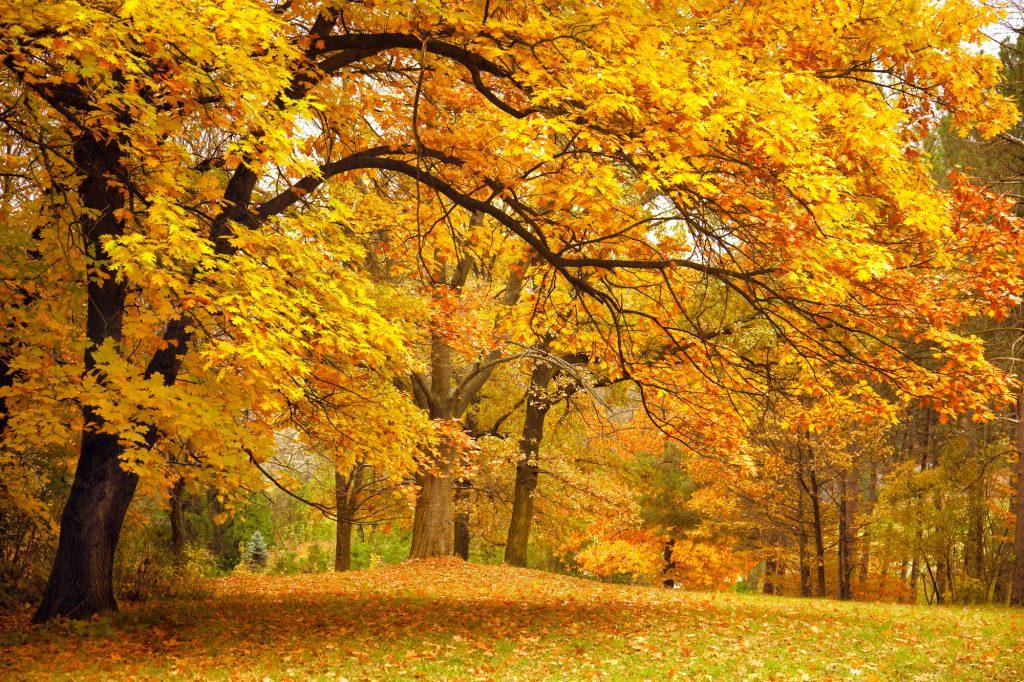 Een prachtige, reusachtige eikenboom in een herfstachtig park. In plaats van rood of bruin, kleuren de bladeren prachtig geel. Het gras ligt vol met herfstbladeren.