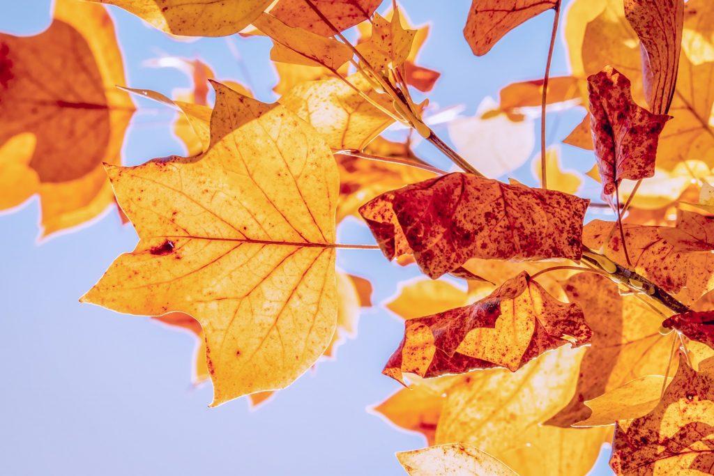 De herfstbladeren hangen nog aan de boom. Deze hangen voor de mooie lichtblauwe lucht.