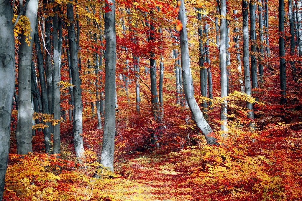 Een bijzonder off-road wandelpad tussen de hoge, dunne bomen die vol hangen met rood-oranje bladeren.