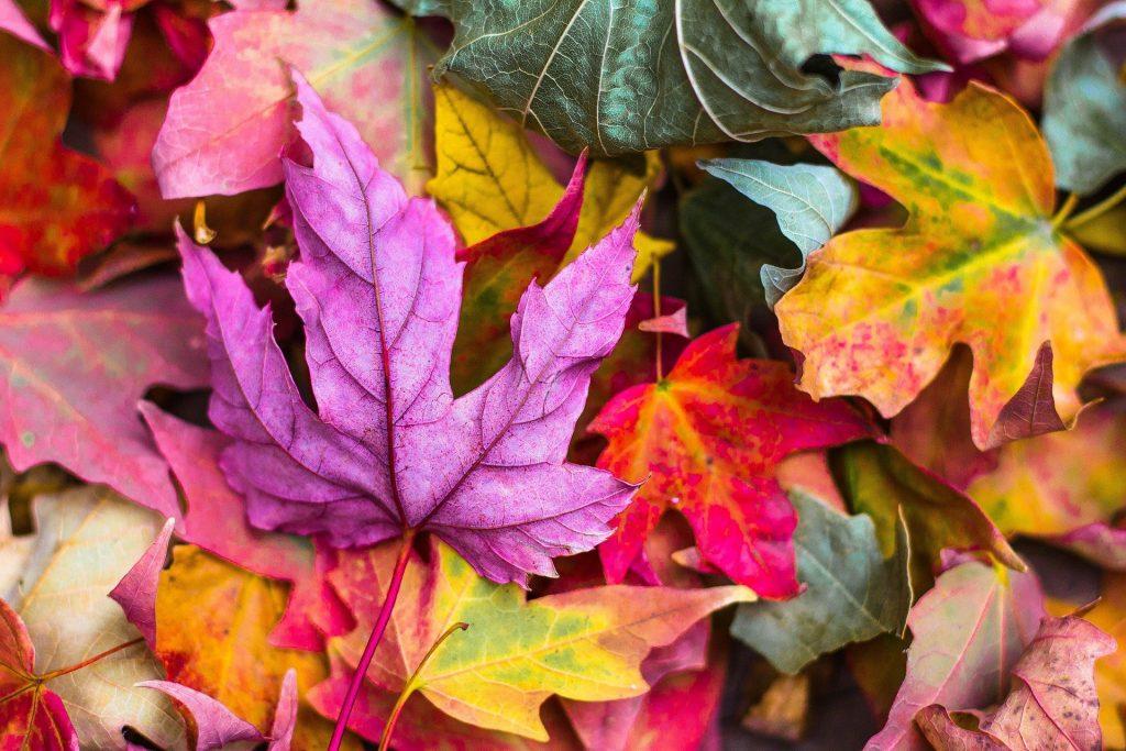 Een stapel van erg zeldzame bladeren die langzaam in hun herfstkleuren trekken. Vooral het paarse blad dat bovenop ligt is erg zeldzaam, en zie je niet vaak in Nederland.