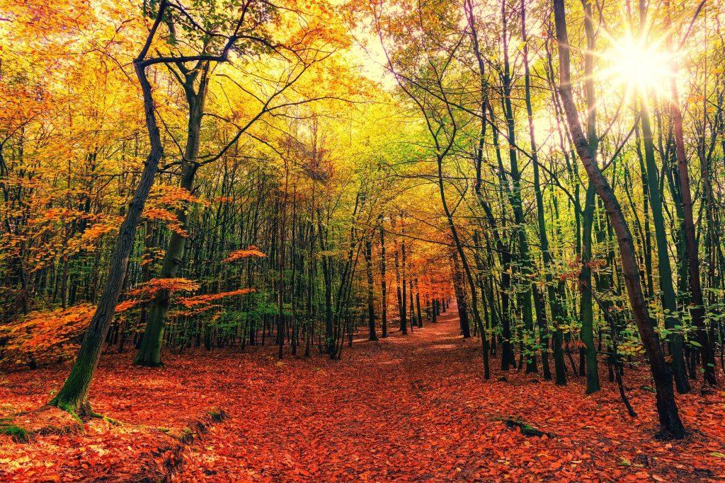 Een prachtig bospad midden op een zonnige middag. De grond ligt al helemaal vol met de roodgekleurde herfstbladeren, afkomstig van verschillende bomen. Aan de bomen zelf hangen ook nog mooie groene blaadjes. Het zonlicht is erg fel.