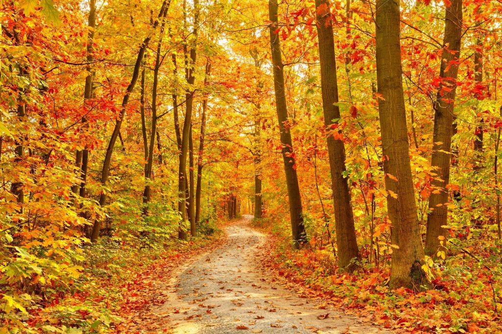 Een bijna perfect herfstig pad, zoals je het op de schilderijen terugziet. Mooie hoge, smalle bomen met de herfstkenmerkend gekleurde bladeren. Je kunt meters ver de verte in kijken wat zorgt voor een prachtig beeld tijdens de herfstwandeling.'