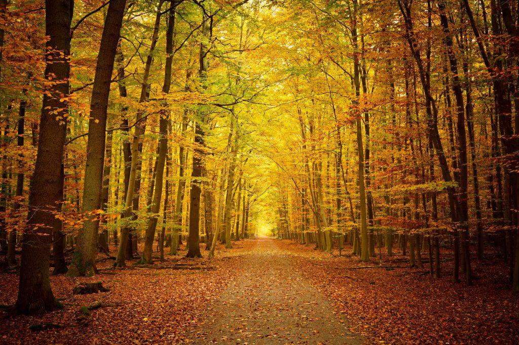 Een kilometers lang pad door de bossen, met hoge bomen met daaraan gele bladeren. De herfst heeft al goed toegeslagen, daar de hele grond vol ligt met de mooie herfstbladeren. Een mooi pad voor een lange wandeling.