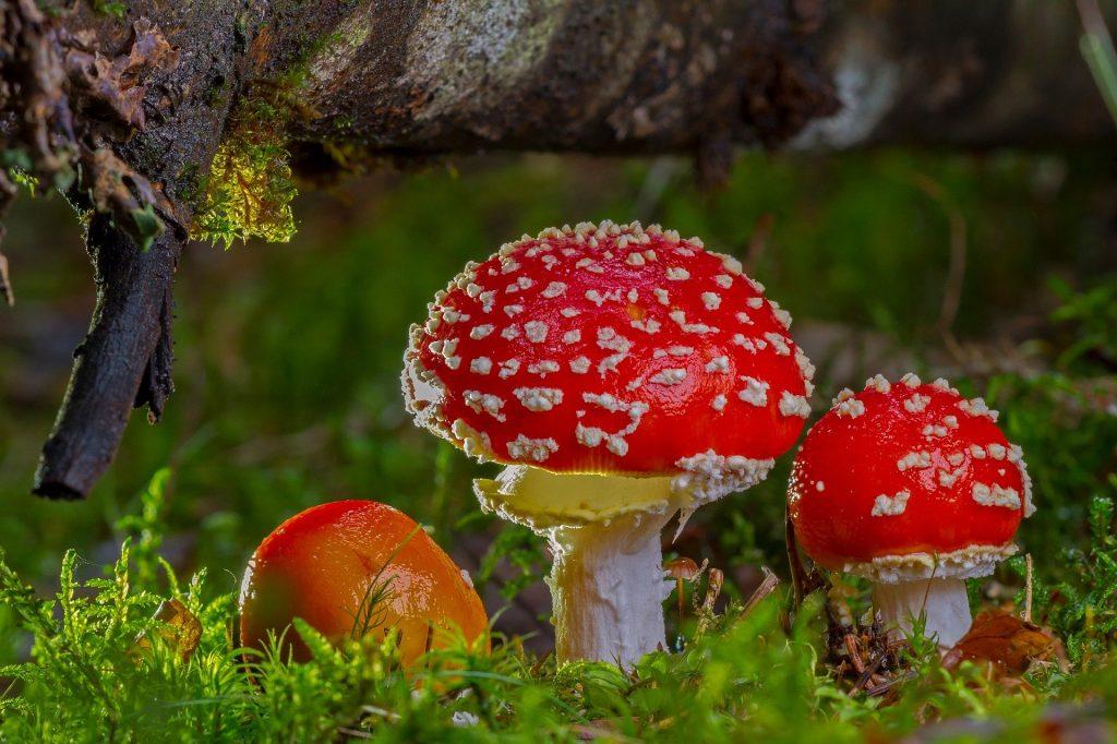De bijzondere herfstpaddenstoelen zoals iedereen ze wel kent. De herkenbare rode paddenstoelen, met daarop de witte stippen, zoals ze bijvoorbeeld ook in de Efteling staan.