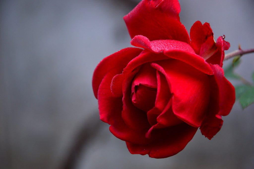 Een prachtige rode roos. Misschien niet per se iets van de herfst, maar dat maakt het niet minder mooi. Pérfect als laptop-achtergrond.
