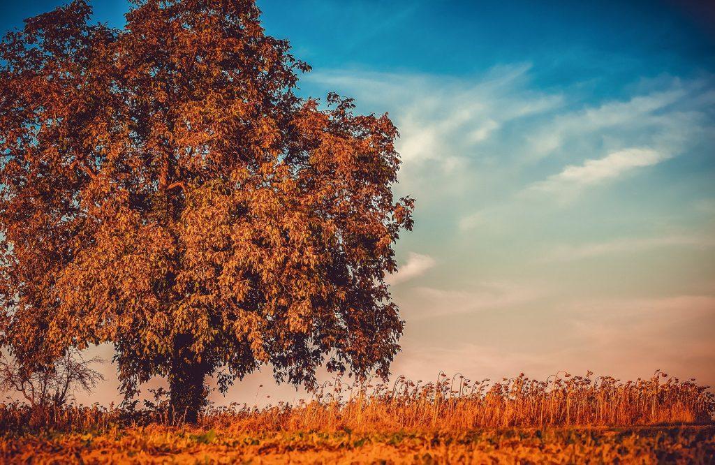 Een reusachtige grote eikenboom, midden in een groot rietveld. De foto is mooi bewerkt, wat zorgt voor de mooie, bijzondere, bijna surrealistische oranje en blauwe kleuren.